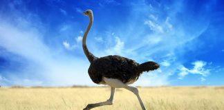 flying-ostrich-ELE-Times